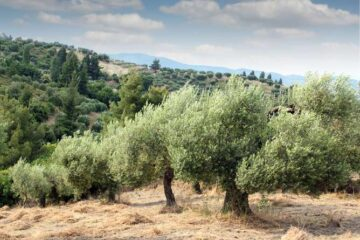 An Olive tree for each martyr